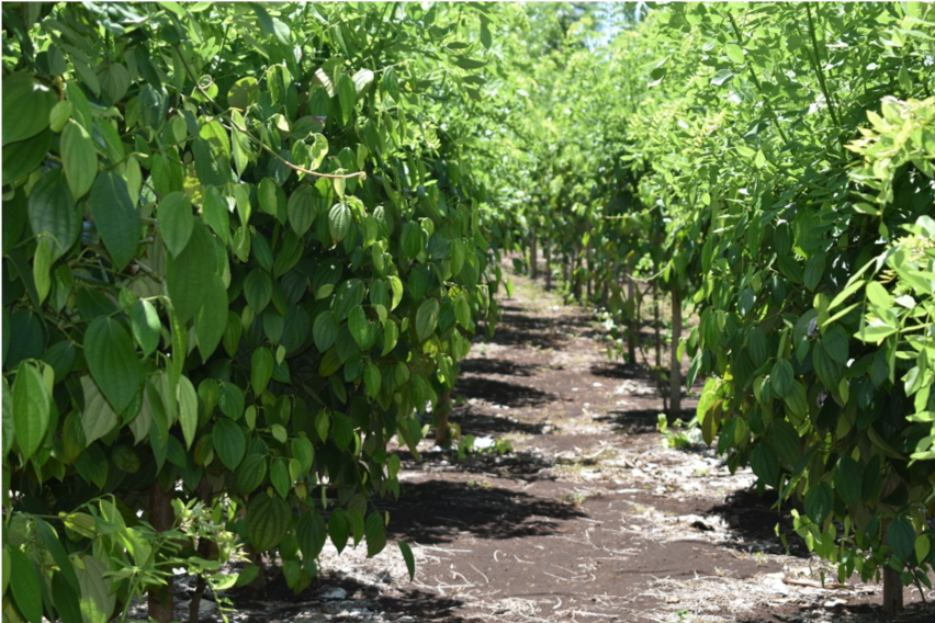 Malo Pepper Farmer Integrating Skills and Knowledge From Seasonal Workers' Experience