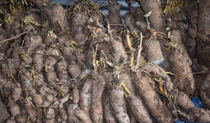 Over 20 Tonnes of Yam harvested by Santo Lead Farmer