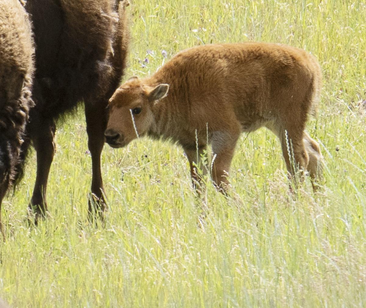 Swank Prairie Bison