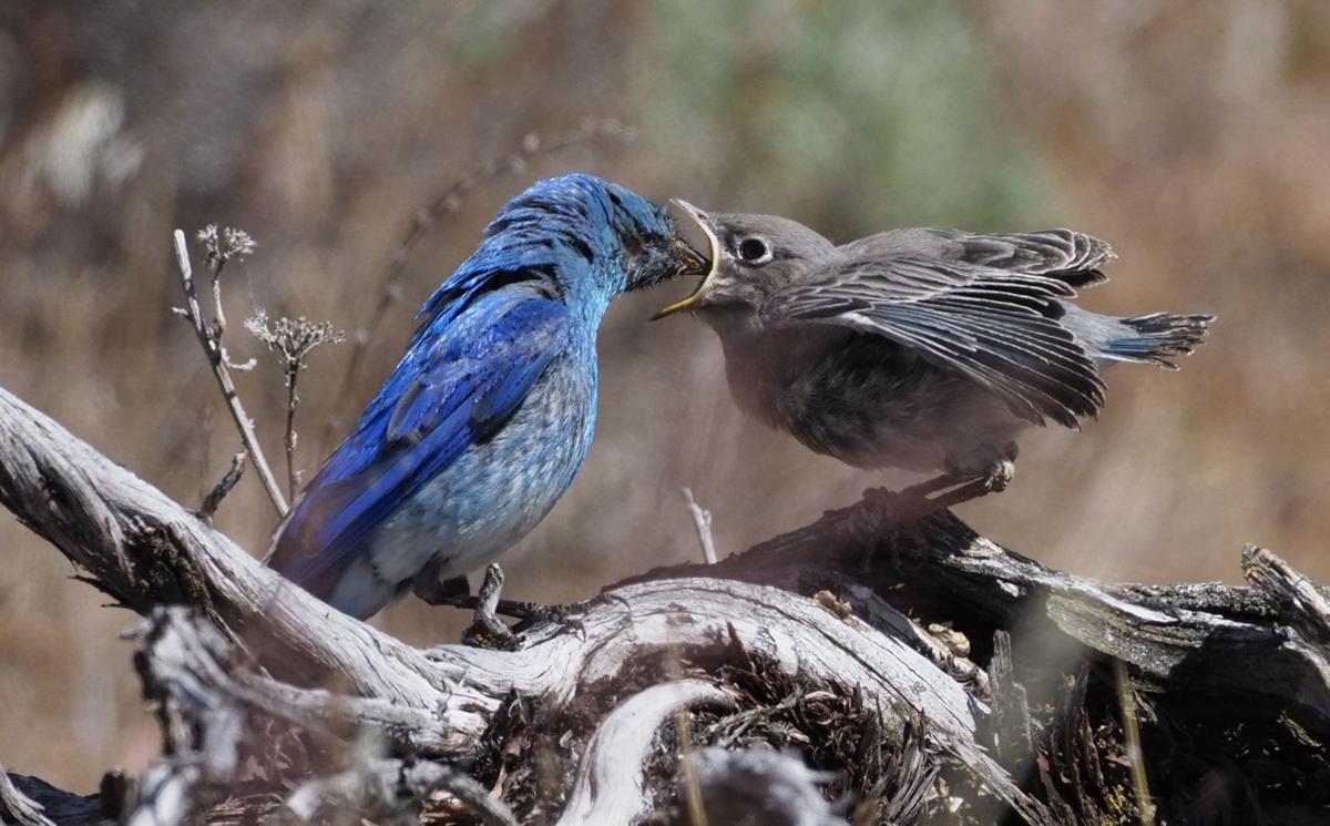 Fledgling Mountain Bluebird Feeding 2