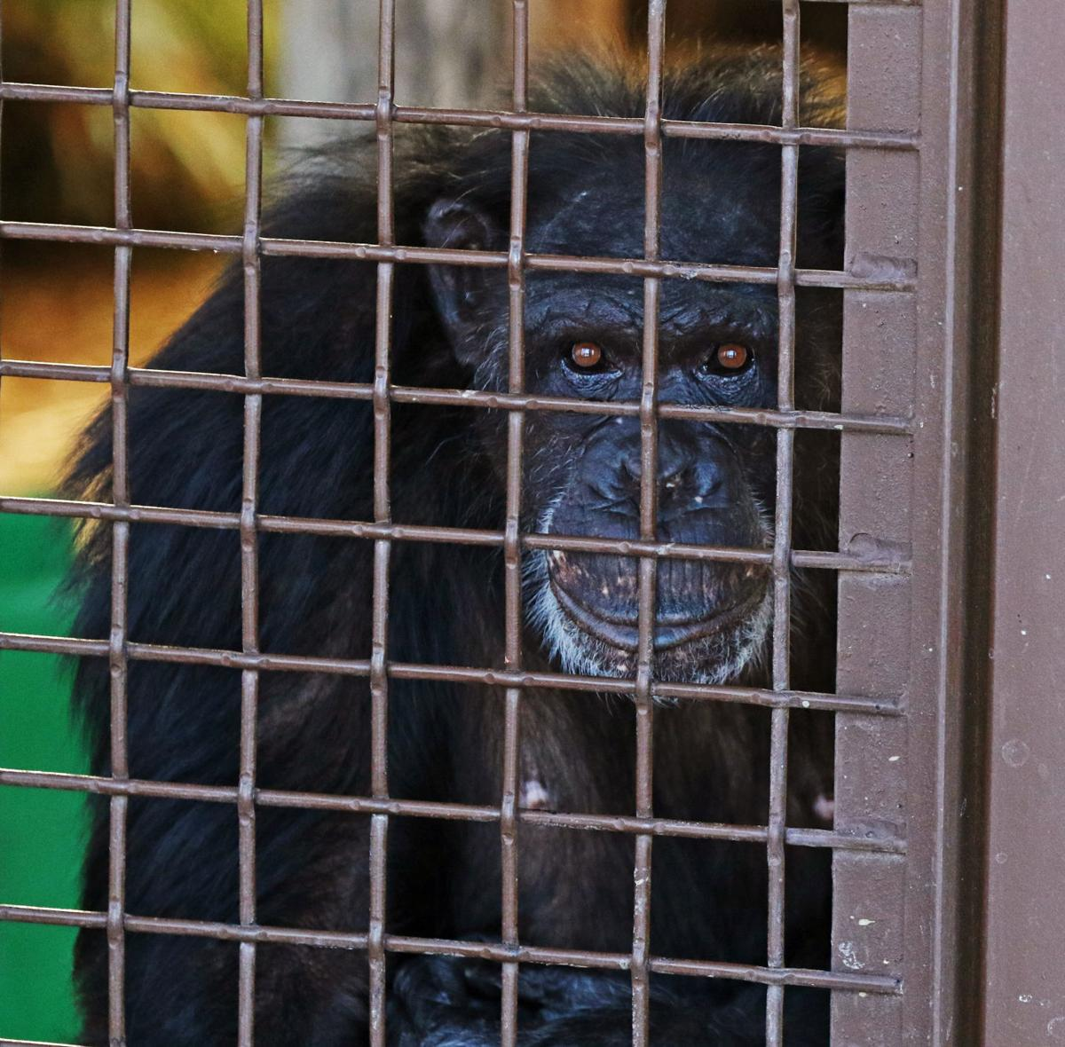Chimpanzee Sanctuary Northwest