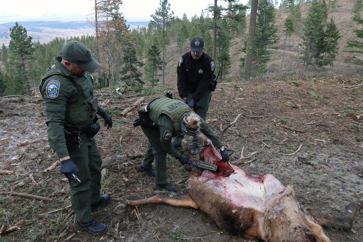 dead elk_17