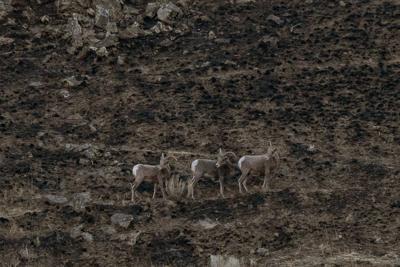 Yakima Canyon River Post Evans Canyon Fire_Big Horn Sheep