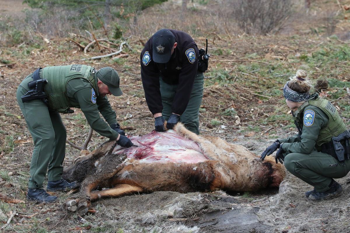 dead elk_16