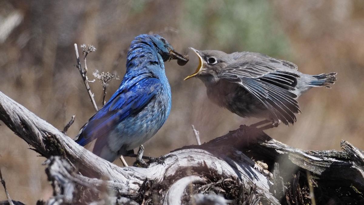 Fledgling Mountain Bluebird Feeding 1