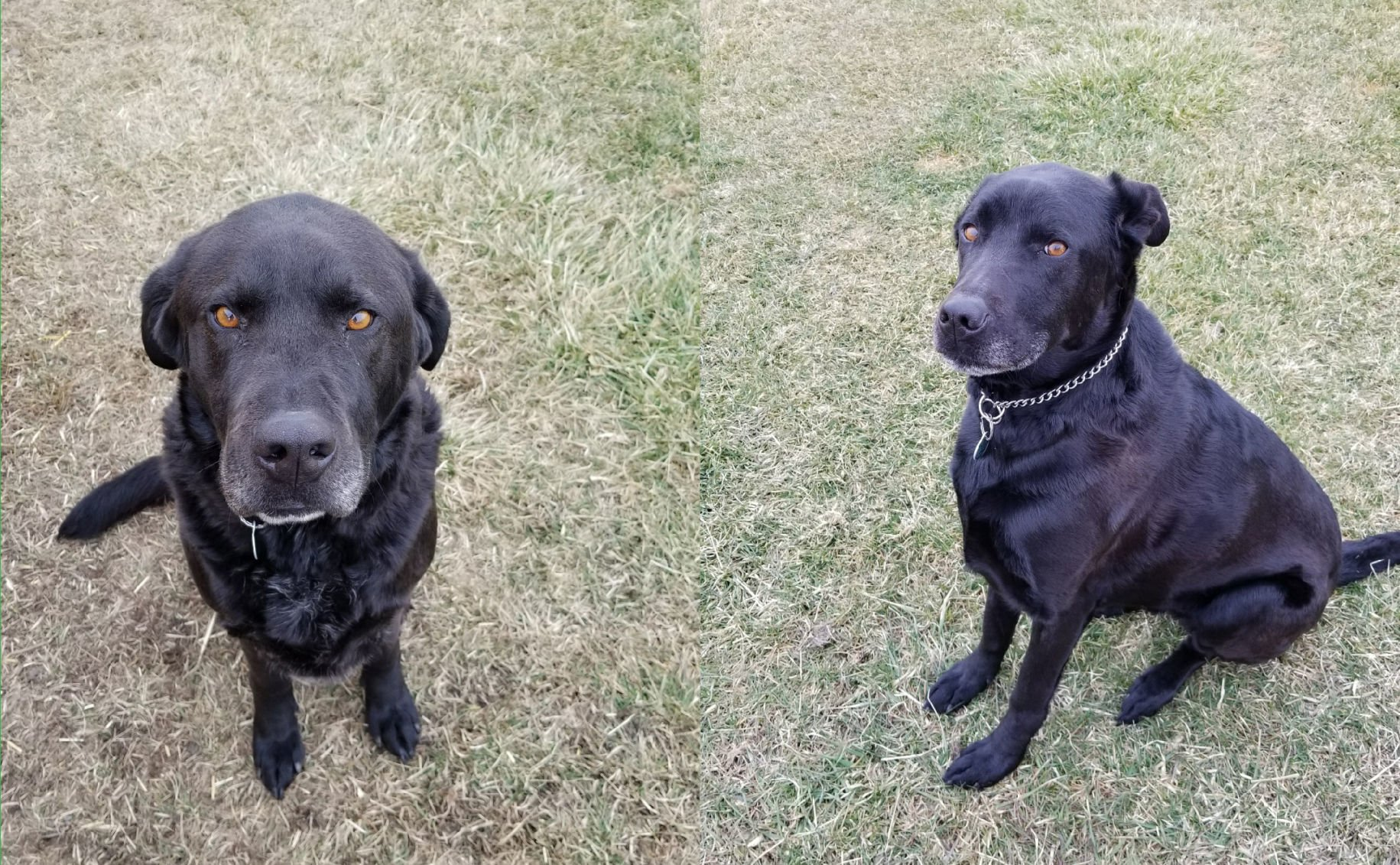 Two black labs still in need of