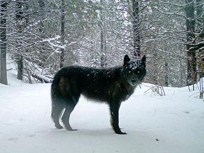 Oregon Wolves Endangered Status