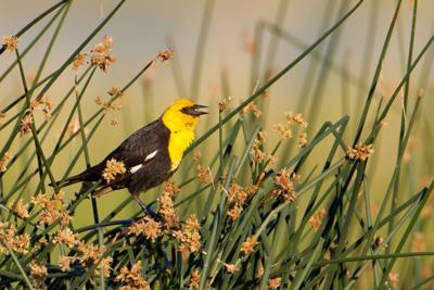 Bird of Month August