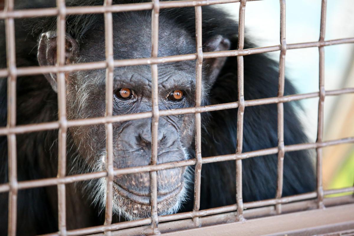 C For Chimpanzee Local chimpanze...