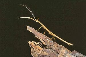 Insect Frauds Praying Mantises And Walking Sticks Life