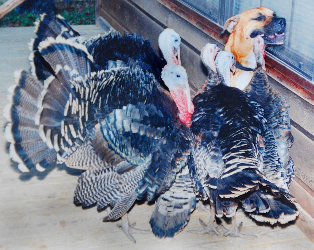 Turkeys and Captain