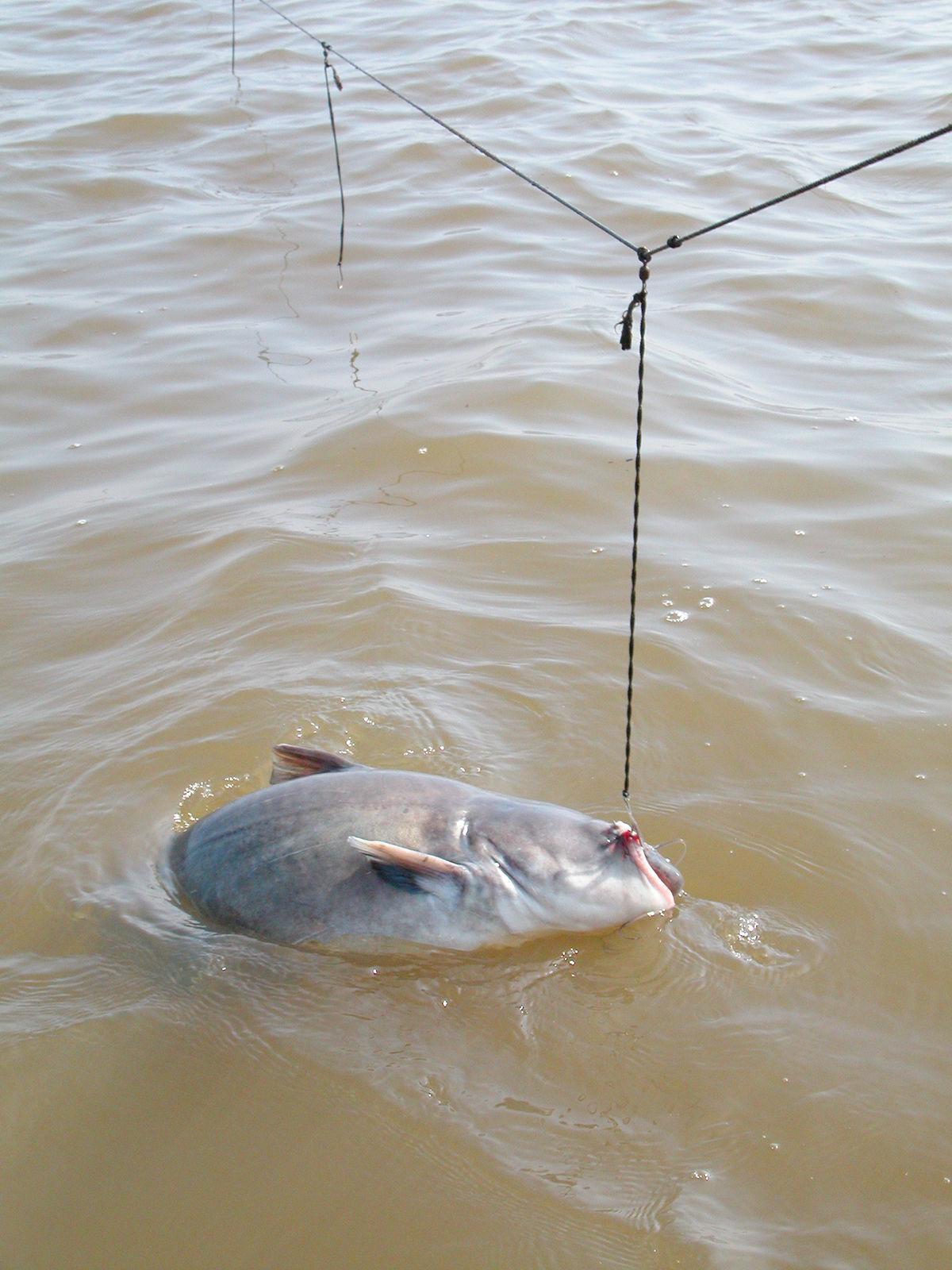 Catfish on Hook