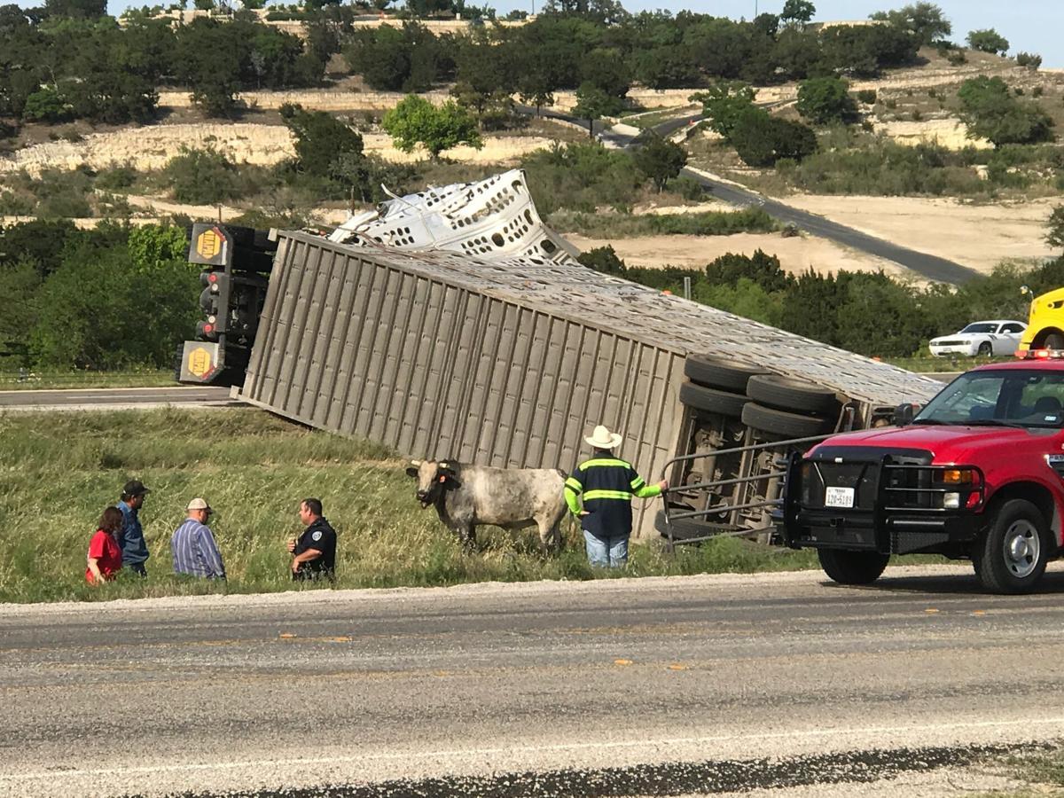 Cattle truck overturns: Livestock injured, killed in tractor-trailer