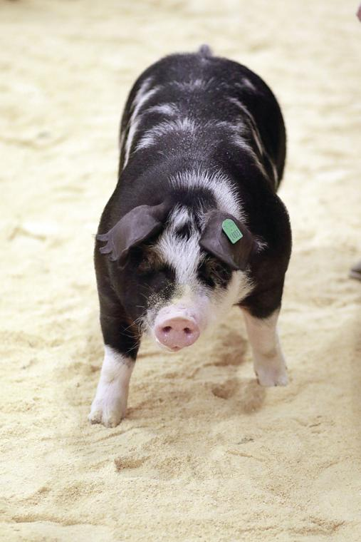 A pig at the stockshow