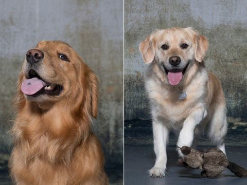 How 3,000 very good golden retrievers could help all dogs live longer