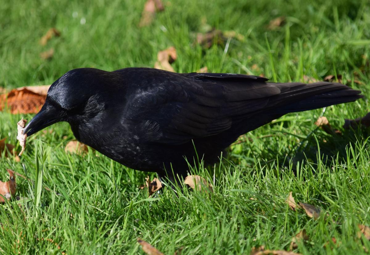 103019_SM_Crows_3