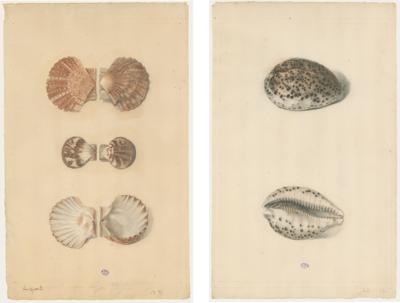 Basseporte Pastel Shells