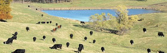 Cattle on the hillside with a pond in the background