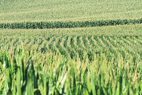 Corn field near Denison