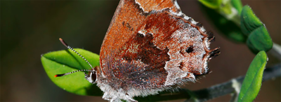 Monitoring the Frosted Elfin butterfly