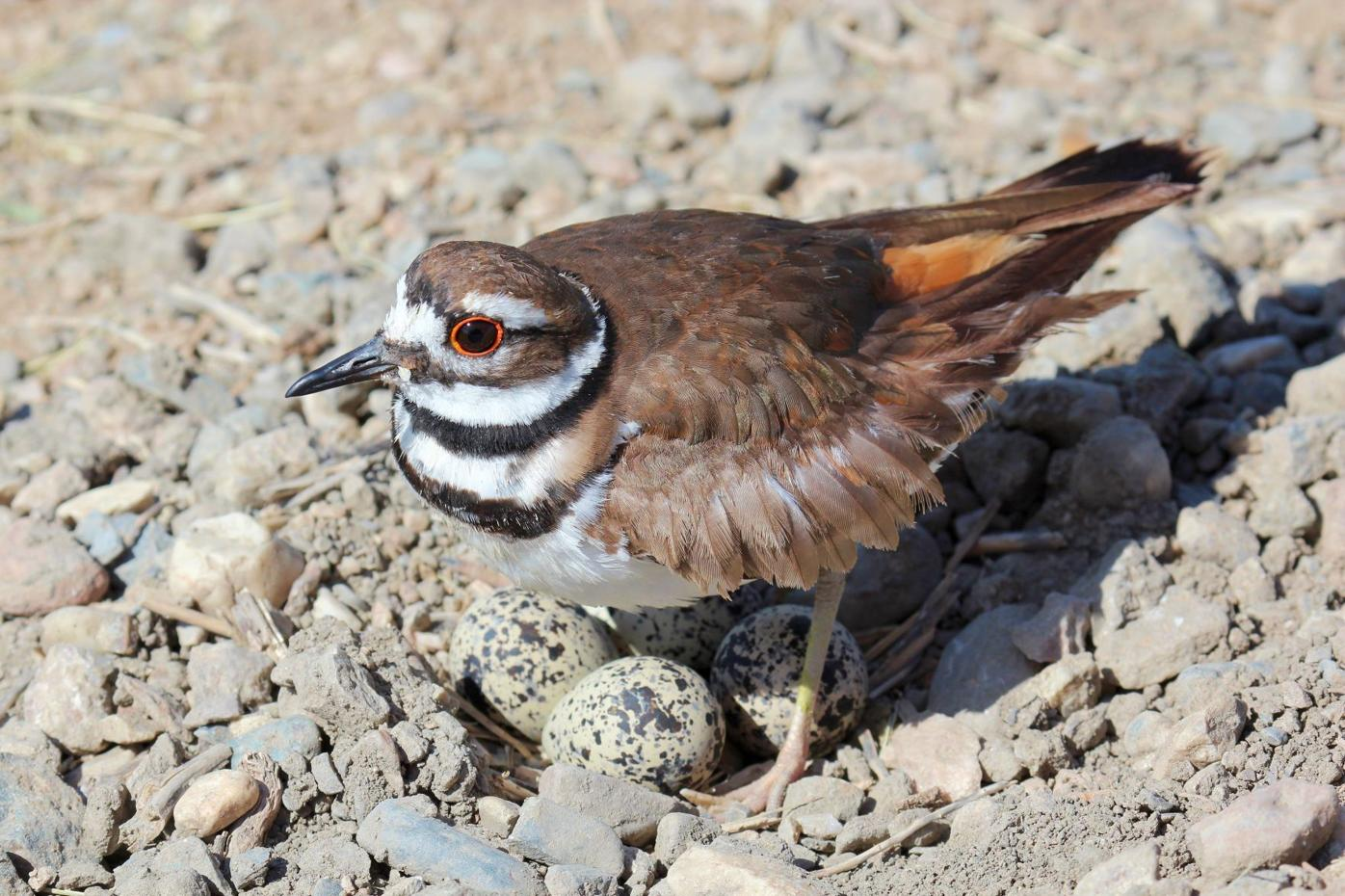Bird's nest protected as work continues around unhatched eggs