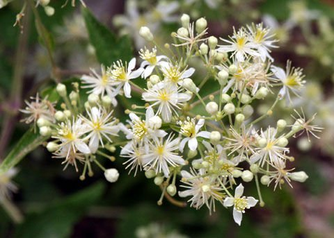 Western white clematis flowers