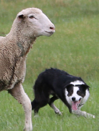 Hotchkiss council okays donation to stock dog trials