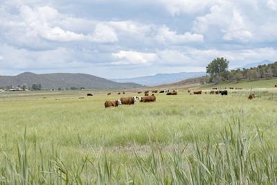 Dueling Senate bills look to fix cattle market