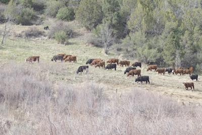 herd counts
