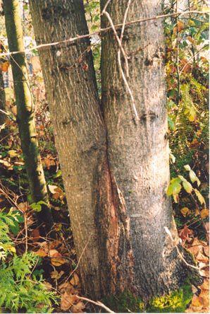 Tree defect