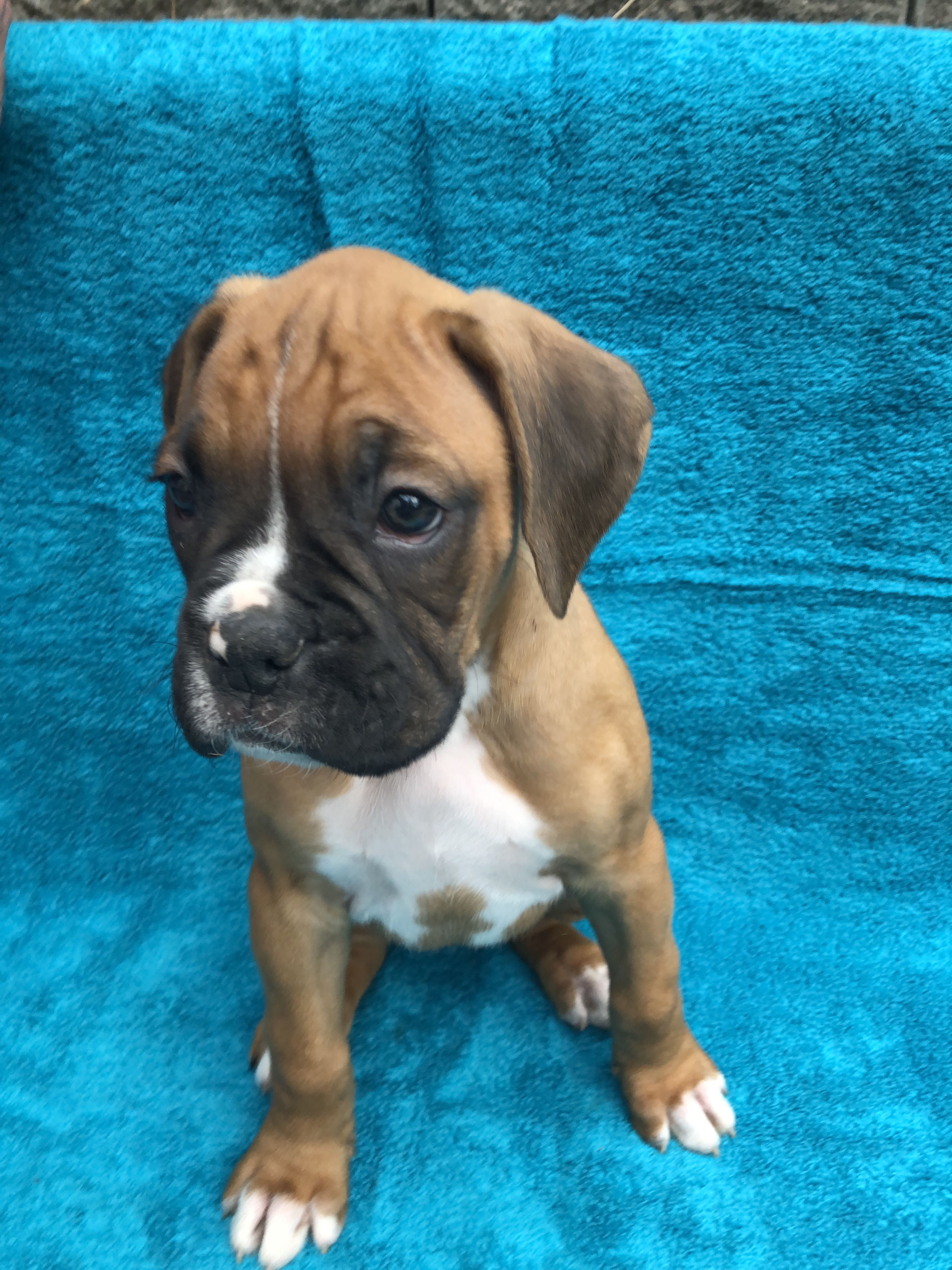 BOXER PUPPIES!! image 1