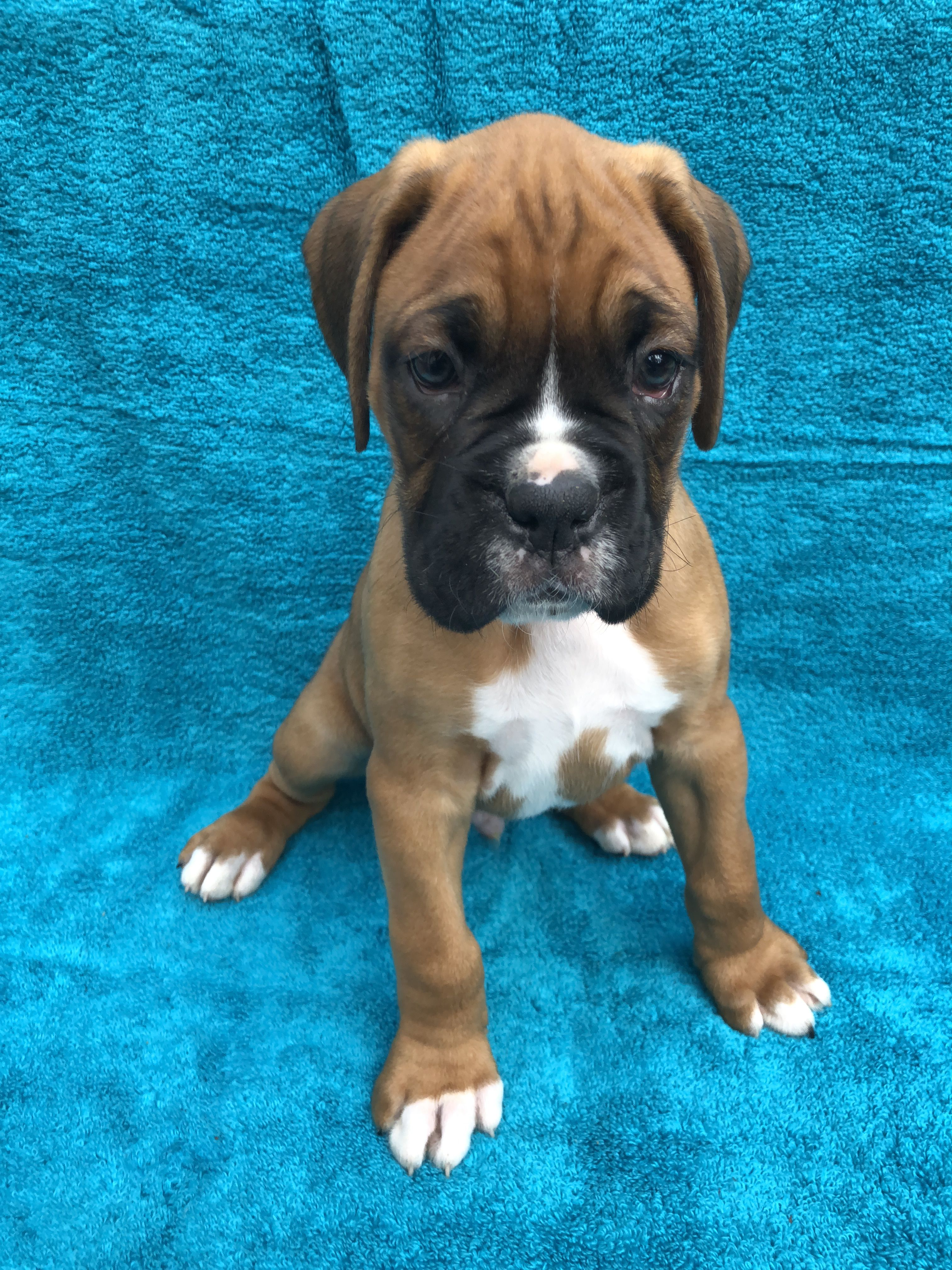 BOXER PUPPIES!! image 2
