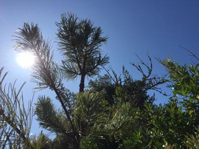 Sunny Pine 10-9-19