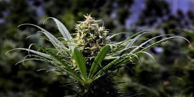 Marijuana plant (copy)