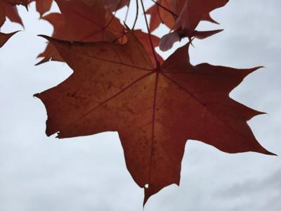Leaf Against Sky 11-8-18
