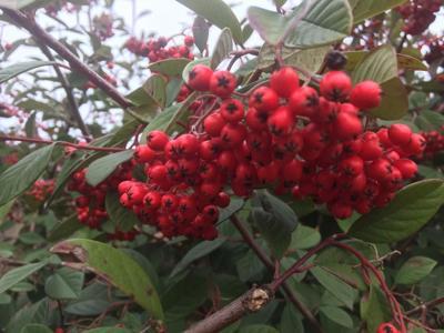 Berries 3-17-19