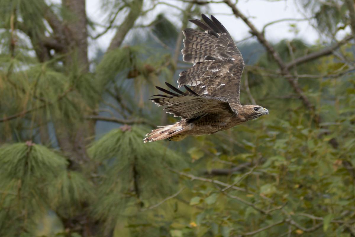 Hawk Release-3 (copy)
