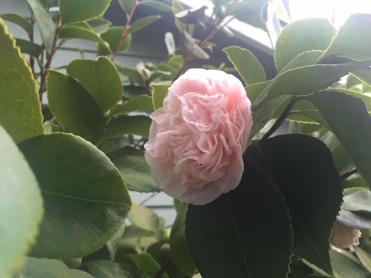 Foggy Blossom 1-13-18