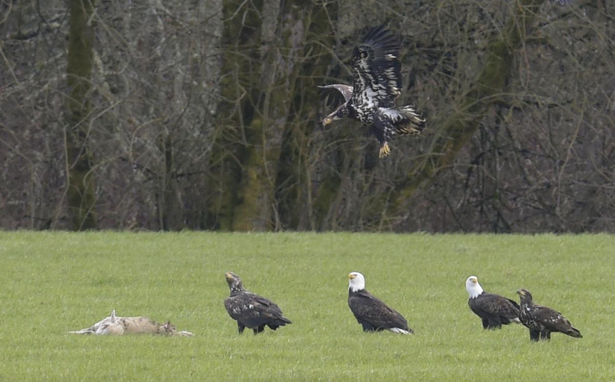 020817-adh-nws-eagles-1-dp.jpg