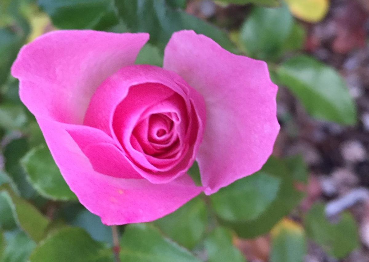 Pink Rose 11-13-17