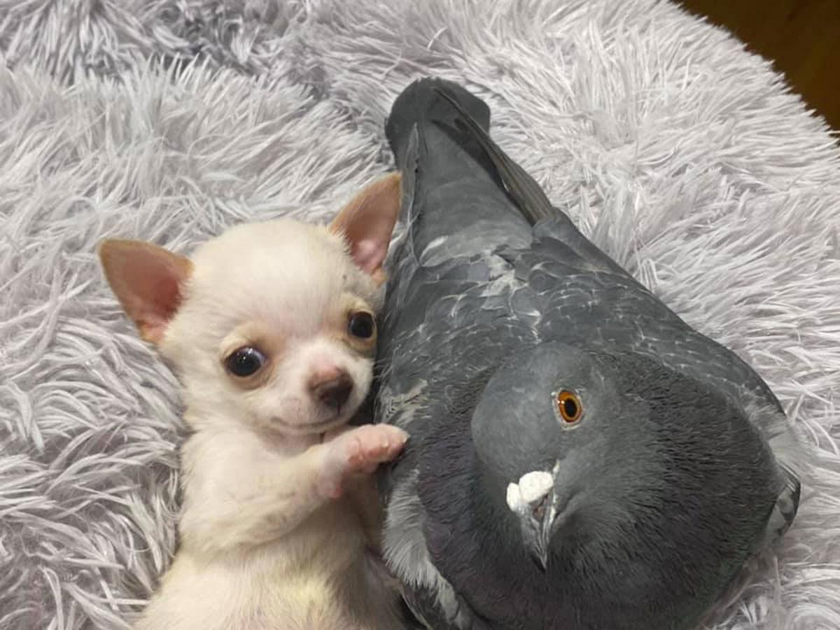 Puppy pigeon friendship