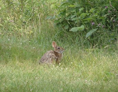State plan supports cottontail population in Londonderry