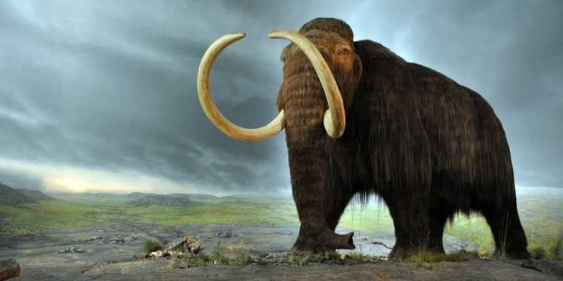 Return of the mammoths?