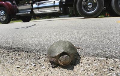 Summer roads still a threat for turtles