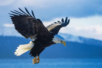 Bald Eagle file image