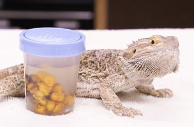 6-11 OSU Spay, neuter reptiles pic