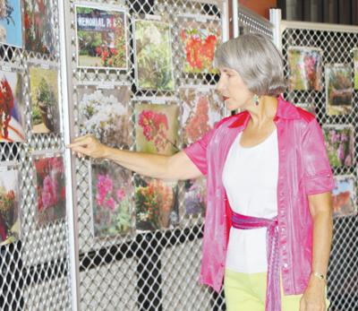 Carolyn Rodgers looks over some of the photography entries from a previous Crapemyrtle Photography Contest. Entries are now being taken for the 2012 edition of the annual event.