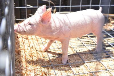 pigs10.image.jpg