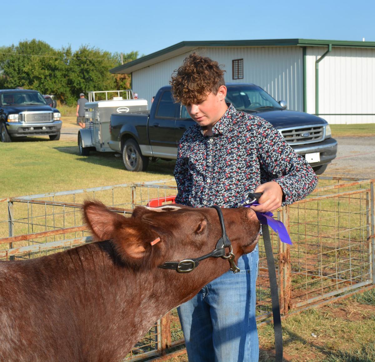 8-21 Cow eat ribbon.jpg