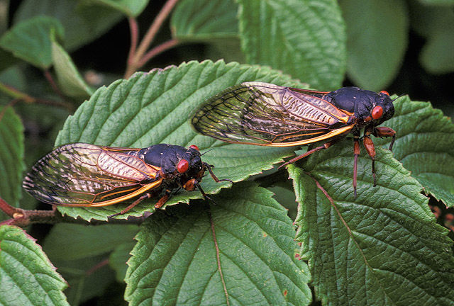 The 17-year cicadas are coming